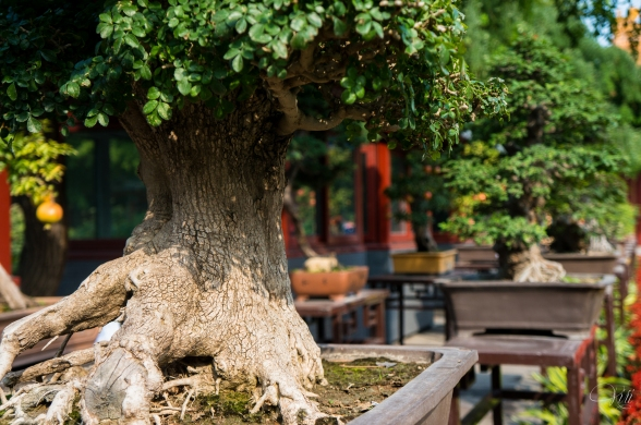 Bonsai Trees in the Park