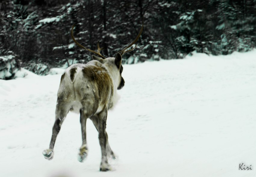 Caribou on the James Bay Highway