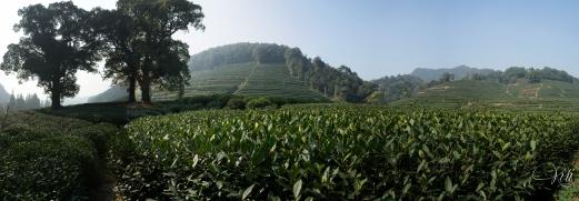 Tea Fields 13