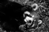 Red Pandas...
