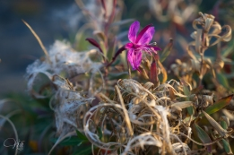 Fireweed in bloom and fall