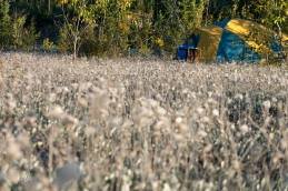 Camping in a field of Arctic Cotton on Strawberry Island
